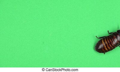 Madagascar cockroach crawls. Green screen. View from above