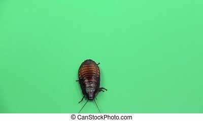 Madagascar cockroach crawls . Green screen. View from above. Slow motion