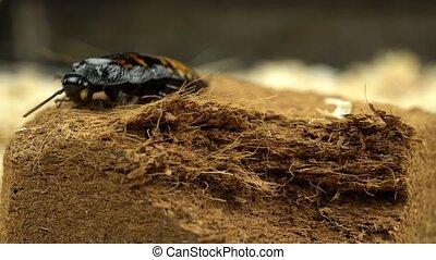 Madagascar cockroach crawls on pressed sawdust. Close up