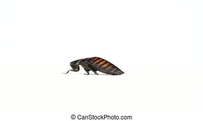 Madagascar cockroach runs to the side. White background. Side view