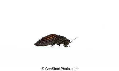 Madagascar cockroach runs to the side. White background. Side view. Slow motion