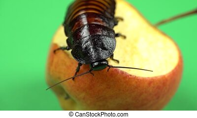 Madagascar cockroach sits on an apple and eats it. Green...