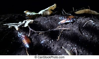 Madagascar Cockroaches crawling on the soil in the night...