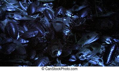 madagascar cockroaches - giant madagascar cockroaches