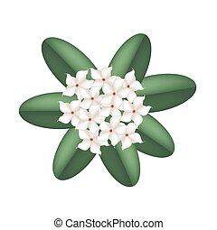 madagascar, flores, jasmine, fundo branco
