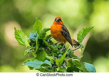 Madagascar Fody - Vivid birds of Seychelles - Red Madagascar...
