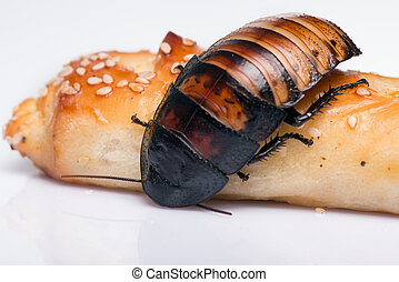 Madagascar hissing cockroach on bread isolated on white background close up