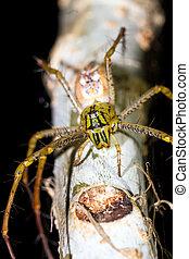 Madagascar Lynx Spider