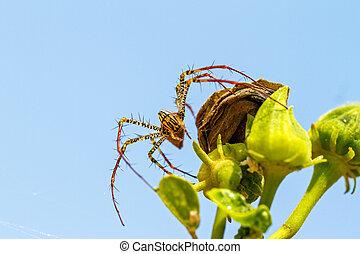 Peucetia Madagascariensi