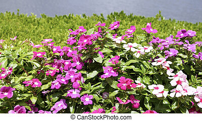 Madagascar periwinkle flowers in the garden