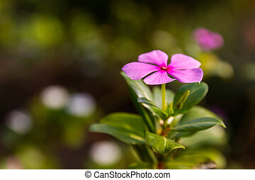 Madagascar periwinkle in garden - Pink Madagascar periwinkle...