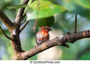Madagascar Red Fody - Red fody bird from Madagascar standing...