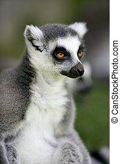 Madagascar Ring Tailed Lemur portrait of this peculiar ape ...