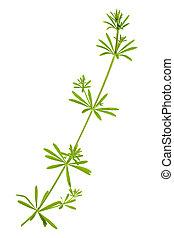 madder plant stem - madder plant rubia tinctorum isolated on...