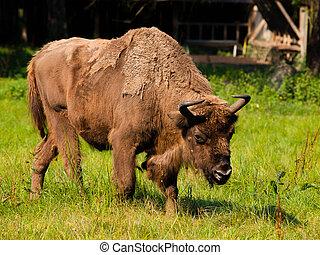 madeira, bisonte, europeu