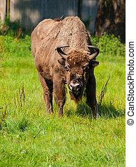 madeira, bisonte, floresta, primitivo, bialowieza, europeu