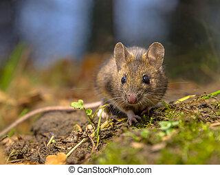 madeira, rato, floresta