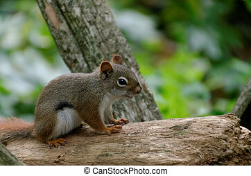 madeiras, esquilo