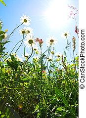 madeliefje, bloem, in, zomer, met, blauwe hemel