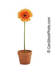 madeliefje, bloem, met, een, pot