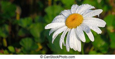 madeliefje, bloem, met, morgen, dauw