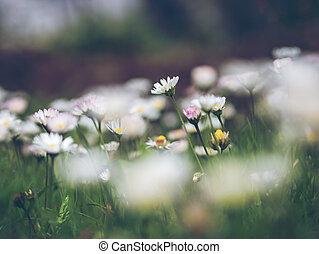 madeliefje, bloem
