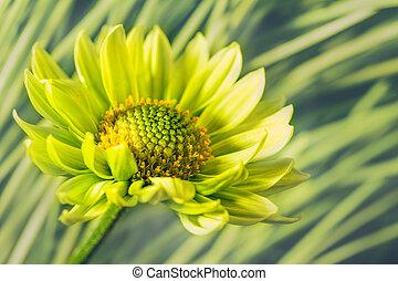 madeliefje, bloem, tegen, abstract, natuurlijke , achtergronden