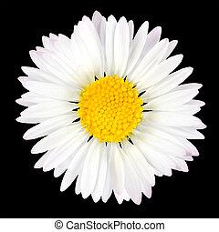 madeliefje, bloem, vrijstaand, op, zwarte achtergrond