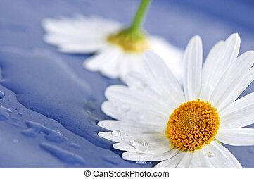 madeliefje, bloemen, met, waterdruppels