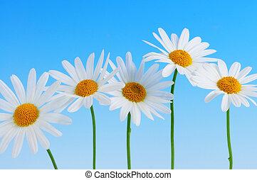 madeliefje, bloemen, op, blauwe achtergrond