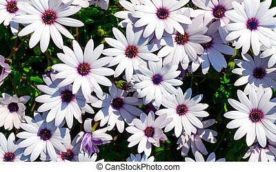 madeliefje, bloemen