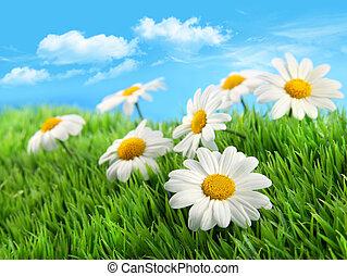 madeliefjes, in, gras, tegen, een, blauwe hemel