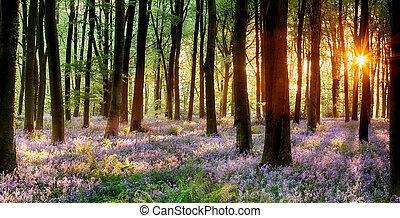madera, salida del sol, bluebell