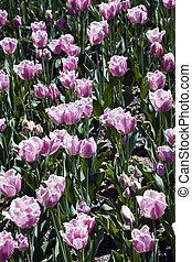 Madison Garden Tulips
