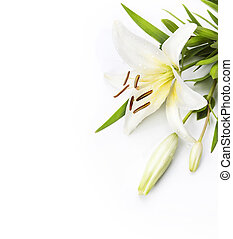 madonna, weiße lilie, freigestellt, hintergrund