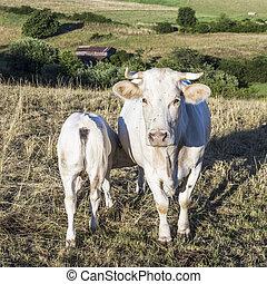madre, mucca, con, vitello, pascolo, a, il, prato verde, in, tramonto