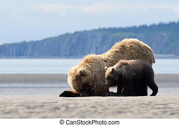 madre, oso pardo, con, cachorro, alimentación, en, abrazaderas