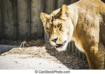 madre, potente, leonessa, riposare, fauna, mammifero, withbrown, pelliccia