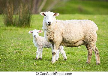 madre, sheep, y, cordero