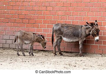 madre y bebé, burros, en, el, floral, pradera