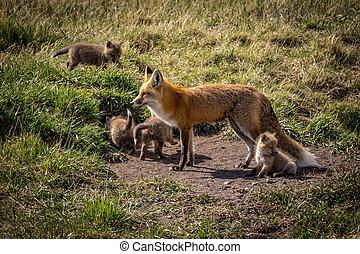 madre, zorro, y, ella, equipos, en, el, salvaje