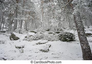 madrid, sneeuwpijnbomen, navacerrada, spain., nevelig, morgen, porto