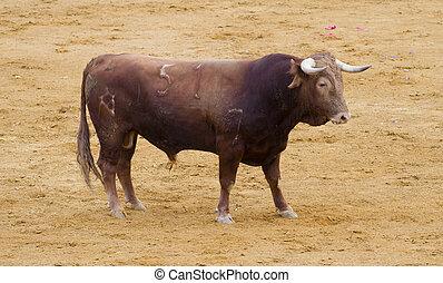 Madrid, (toros, bravos), Taureaux, traditionnel, célèbre,...