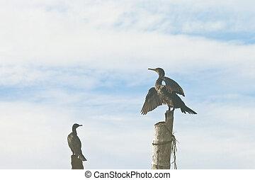 madu, ganga, balapitiya, sri lanka, -, a, cormorant, ausbreitung, ihr, flügeln, zu, beeindrucken, ihr, nachbar
