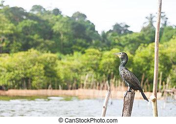madu, ganga, balapitiya, sri lanka, -, groß cormorant, sitzen, auf, a, baumstumpf