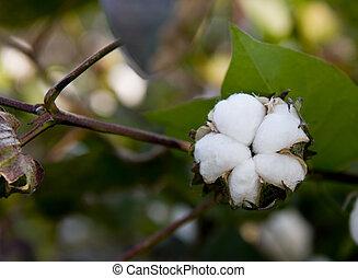 maduras, algodão