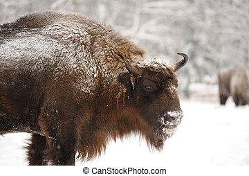 maduras, macho, europeu, bisonte, em, inverno, em, orlovskoye, polesie, parque nacional, em, rússia