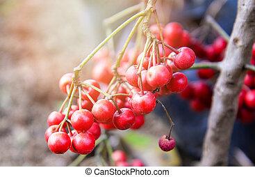 maduro, -, árbol, /, oxycoccus, asiático, salvaje,...