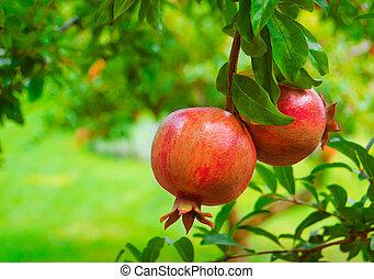 maduro, coloridos, romã, fruta árvore, ramo
