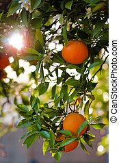 maduro, dof, raso, árvore, laranjas, close-up.